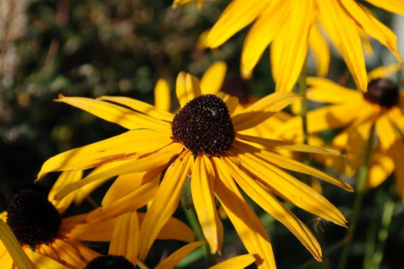 Rudbeckia-in-playground